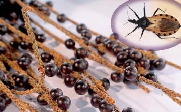 O Açaí e a Doença de Chagas